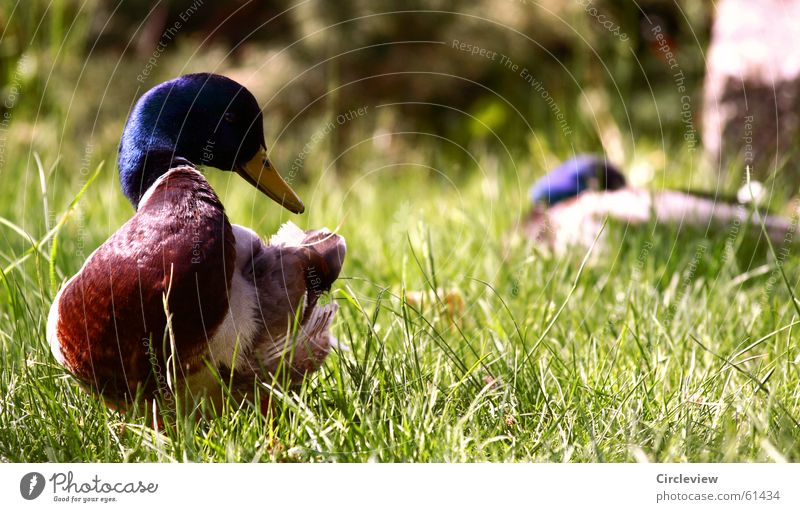 Nature Green Animal Grass Bird Environment Lawn Feather Duck Beak Mallard