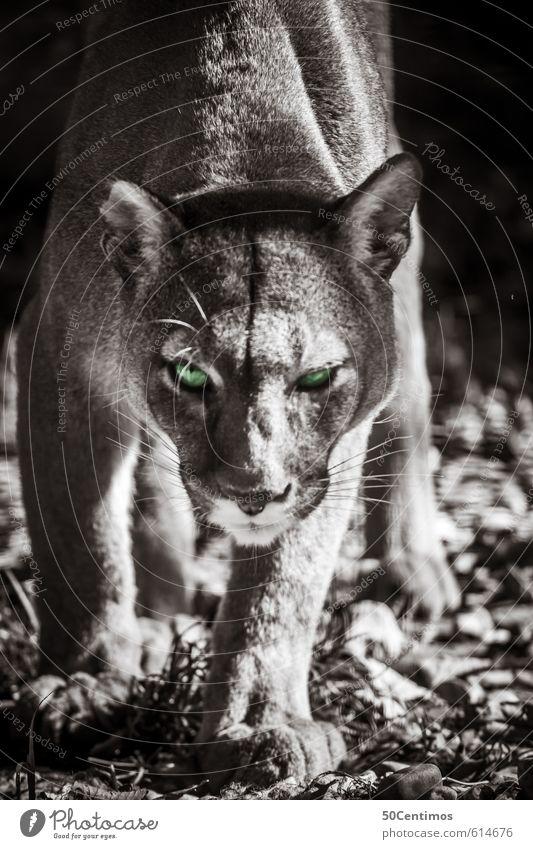 Cat Beautiful Green Calm Animal Life Emotions Power Wild animal Free Speed Esthetic Threat Adventure Contact Athletic