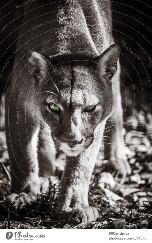 Puma on the hunt Zoo Animal Wild animal Cat Big cat 1 Catch To feed Aggression Esthetic Athletic Threat Free Smart Speed Beautiful Green Emotions Power Brave