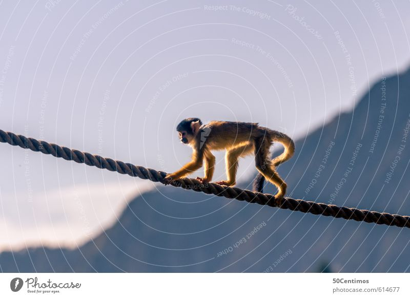 Walking monkey on the rope Leisure and hobbies Vacation & Travel Tourism Trip Adventure Far-off places Freedom Circus Zoo Animal Monkeys 1 Playing Colour photo