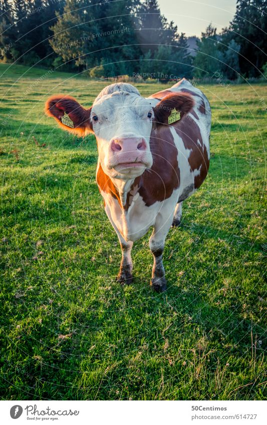 an Austrian cow Milk Healthy Vacation & Travel Tourism Summer Environment Nature Landscape Plant Meadow Forest Animal Farm animal Cow 1 Feeding Looking