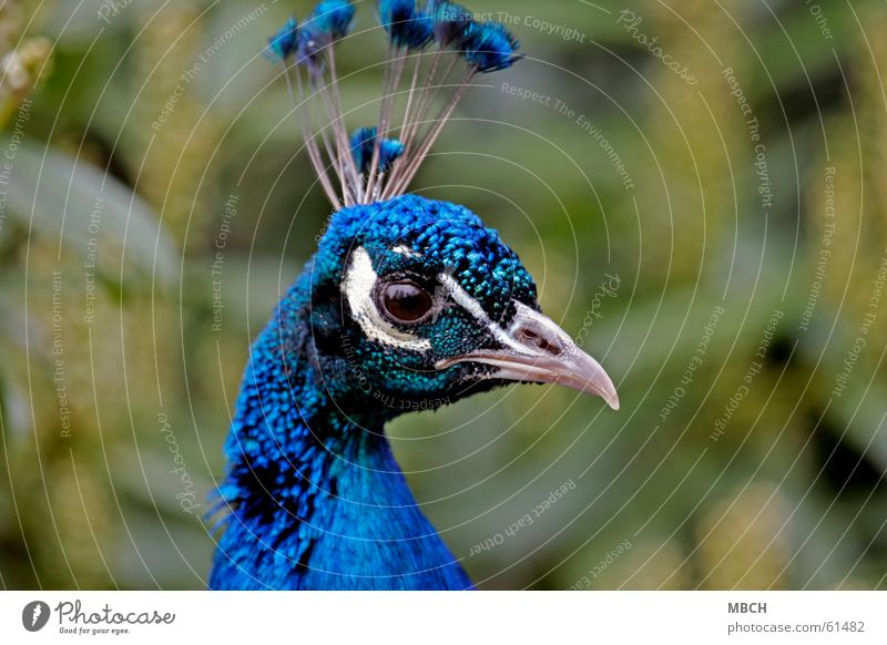 Blue Green White Animal Eyes Brown Nose Feather Near Neck Beak Curved Warped Peacock Comb