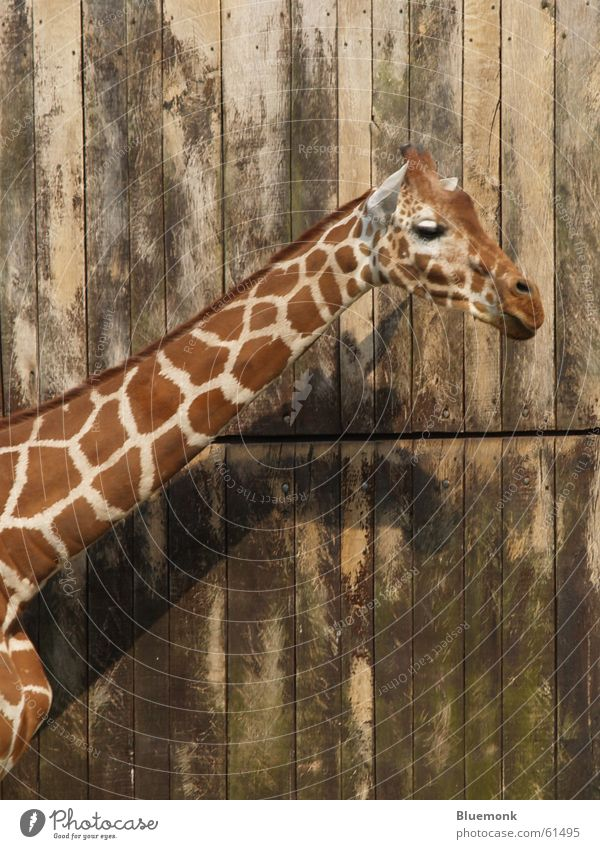 Animal Wall (building) Brown Zoo Gate Patch Neck Safari Giraffe