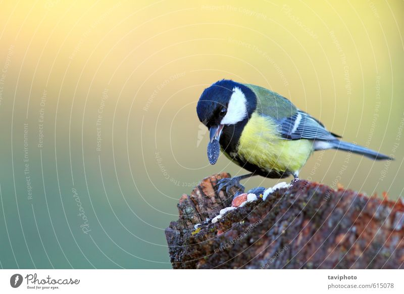 great tit with seed in beak Nature Beautiful Green Colour Landscape Animal Winter Forest Yellow Small Eating Natural Garden Food Bird Park