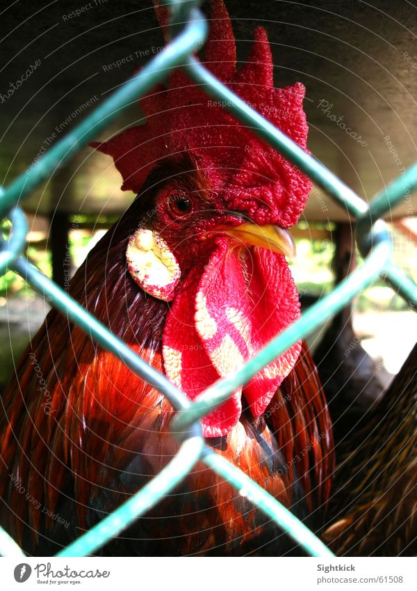 behind bars Rooster Barn fowl Bird Animal Fence Confine Cage Chicken coop Comb Penitentiary Bird 'flu
