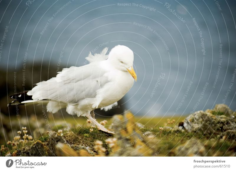 goodbye blue sky Seagull Gull birds Bird Ocean Lake Cliff Coast Wind Animal Western islands Scotland clifs windy Hebrew