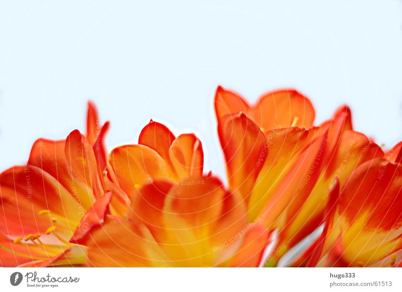 Sky White Beautiful Red Flower Colour Yellow Blossom Bright Orange Multiple Many Soft Fantastic Delicate Virgin forest