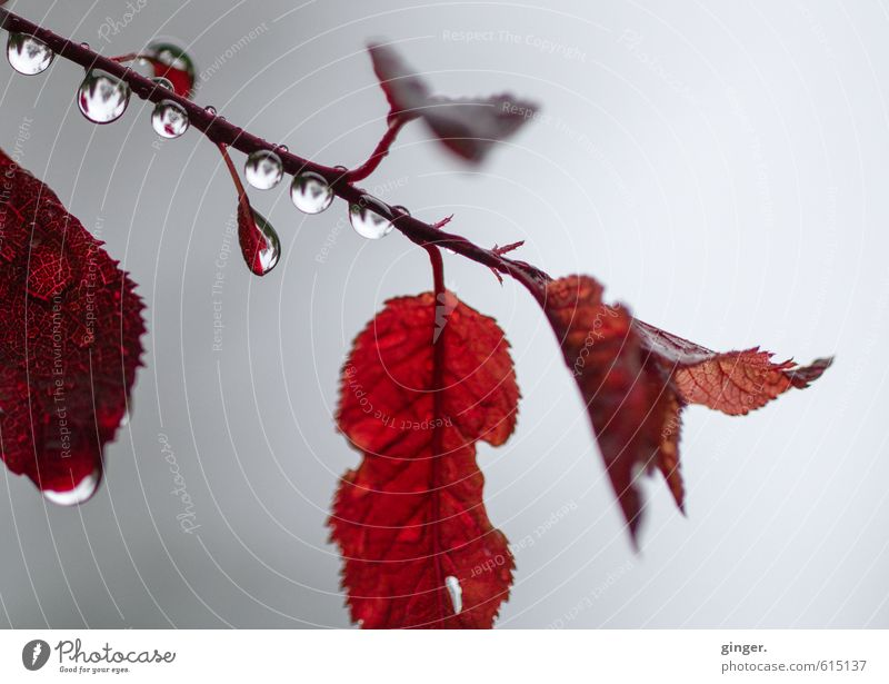 I can't help it. Environment Nature Plant Autumn Rain Bushes Leaf Esthetic Glittering Beautiful Cold Wet Round Red Drops of water Suspended Auburn Downward