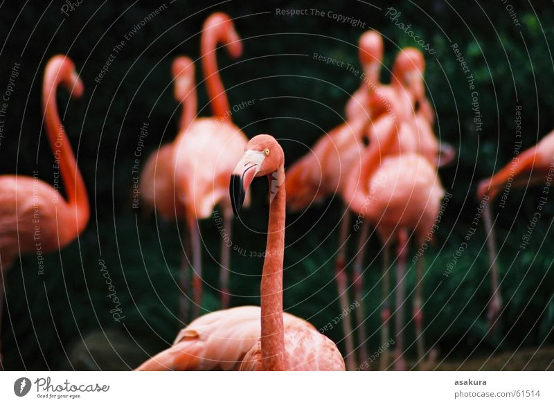 Pink Flamingo Zoo bird animal nikonic