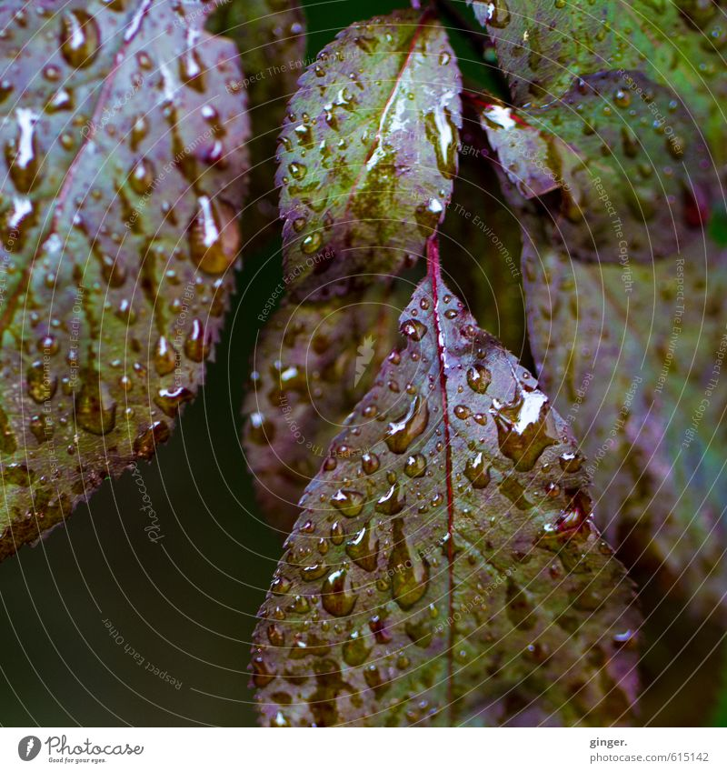 A little grief remains. Environment Nature Plant Water Drops of water Autumn Weather Rain Bushes Leaf Garden Green Red Wet Hydrophobic Rachis Section of image