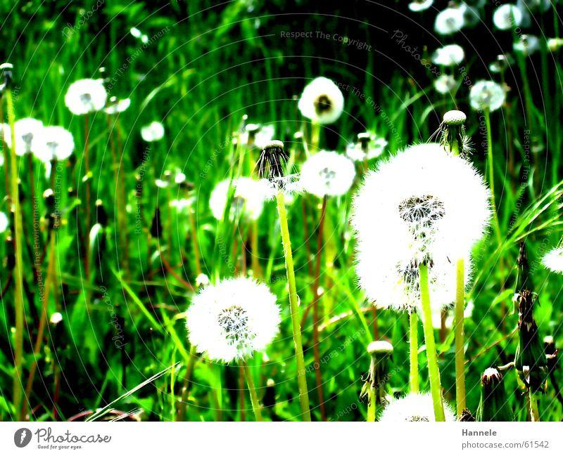 Nature White Flower Green Summer Meadow Grass Spring Garden Air Lawn Dandelion Easy Ease