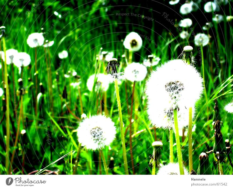One blow, please. Green Meadow Dandelion Flower Grass Spring Summer White Easy Ease Air Garden Lawn Nature Contrast