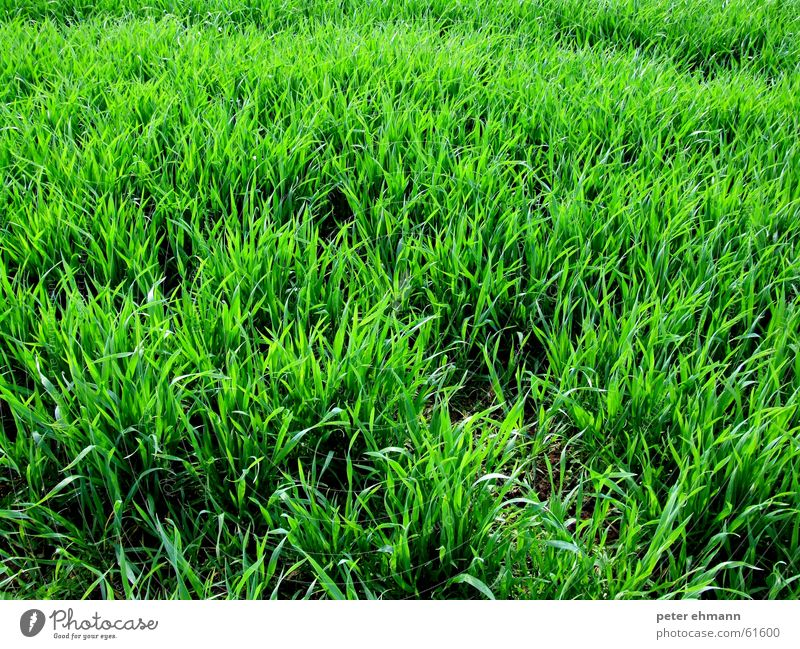 flokati Grass Green Meadow Maturing time Sprout Blade of grass Herbaceous plants Agriculture Carpet Pasture Bushes Juicy Fresh Growth Earth Floor covering Lawn