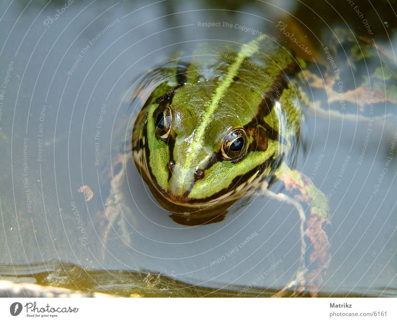 Green Frog Toad Stripe Swimming pool Painted frog amphibian paddock black water sea pond