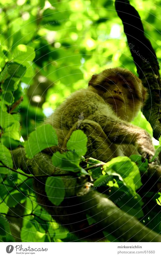 You won't get me! Monkeys Barbary ape Tree Green Forest Looking Leaf Berber Climbing bigway