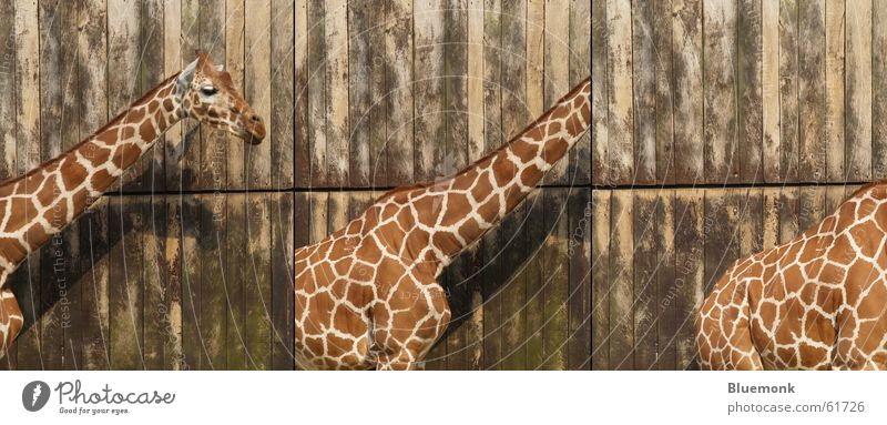 Wood Back Zoo Gate Row Patch Neck Safari Giraffe Poster Star cutout
