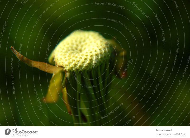 Nature Green Plant Flower Blossom Transience Dandelion Faded