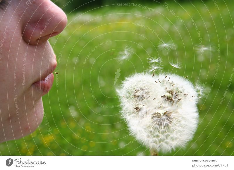 Flower Green Plant Summer Dandelion Blow Seed