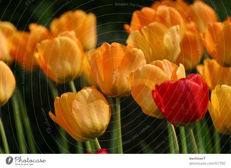 Outsider - Frontrunner Spring Flower Spring flowering plant Tulip Garden Bed (Horticulture) Red Yellow Stalk