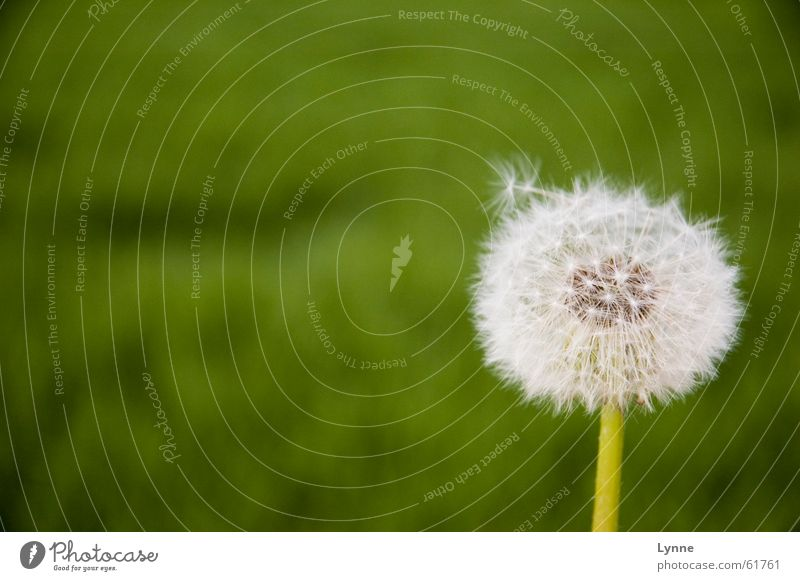 windswept Dandelion Green Flower Meadow White Summer Spring Air Airy Nature Wind