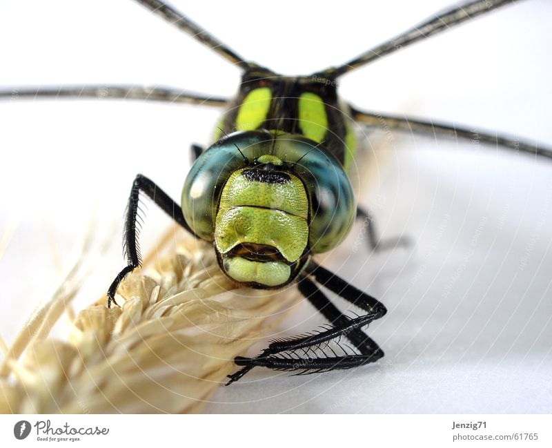 Frontal. Dragonfly Southern hawker Insect Macro (Extreme close-up) Wing Flying