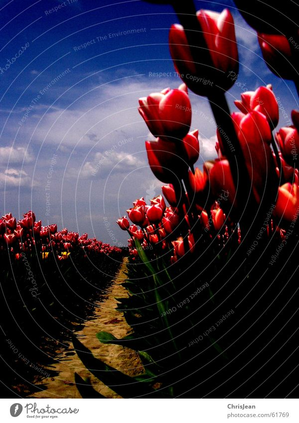 In rank and file Light Against Tulip Tulip field Red Pink Illuminate Flower Sky blue Field Blade of grass Life Agra Agriculture Versatile