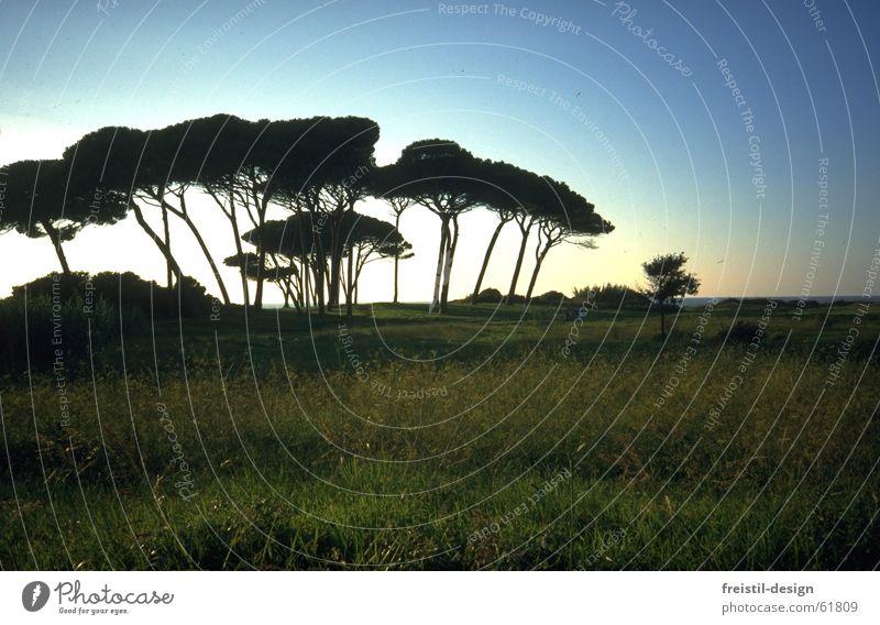 Pines in Tuscany Stone pine Italy Maremma Dusk Tree Landscape