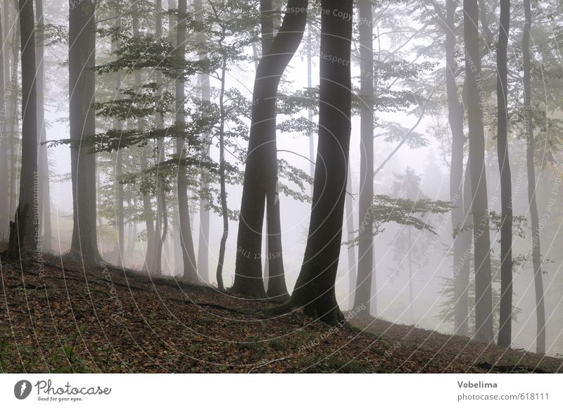 Fog in the forest Nature Landscape Air Autumn Weather Tree Forest Sadness Brown Black White Grief Eerie Mystic Tree trunk Colour photo Exterior shot Deserted
