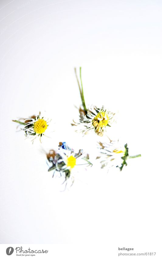 transience of beauty Flower Death Daisy 4 Yellow White Bah Back four Gale withered Faded across Contrast dead and gone End Beautiful Limp