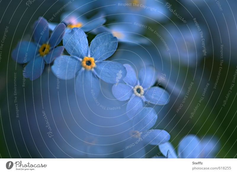 blue and romantic blooms forget-me-not Forget-me-not Blue Domestic romantic flowers Romance Spring flower blue flowers wild plants Spring day May blue blossoms