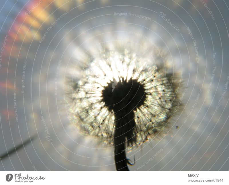 dandelion Dandelion Plant Light Euphorbiaceae Blossom Flower Seed Lighting Sky reflection Near