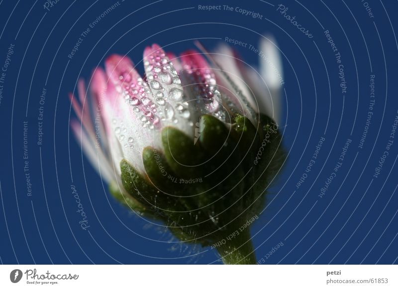 Sweet Daisy Nature Drops of water Sky Flower Blue Green Pink White Stalk Tiny hair buzz Leaves. petals Dew Colour photo Exterior shot Macro (Extreme close-up)