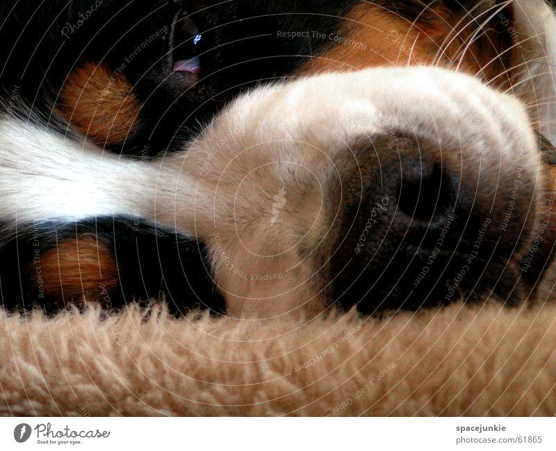 Animal Dog Nose Sleep Pelt Blanket Pet Dreamily Snout Dog's head Bernese Mountain Dog