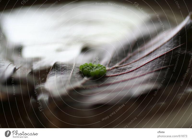 Funny Spider Eggs Larva Leaf Light Green