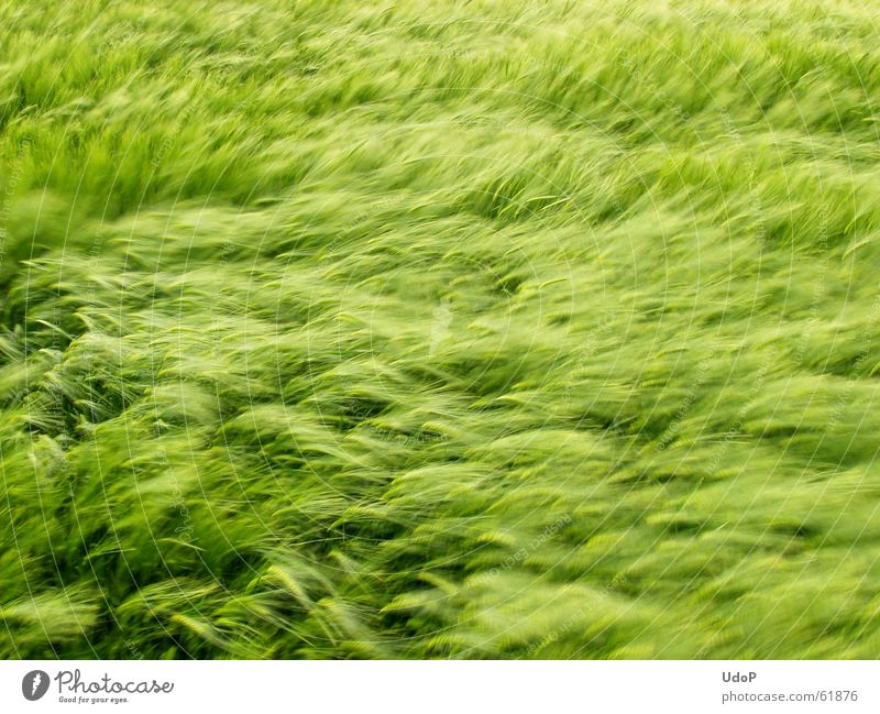 Green Waves Wind Growth Soft Grain May Barley Maturing time