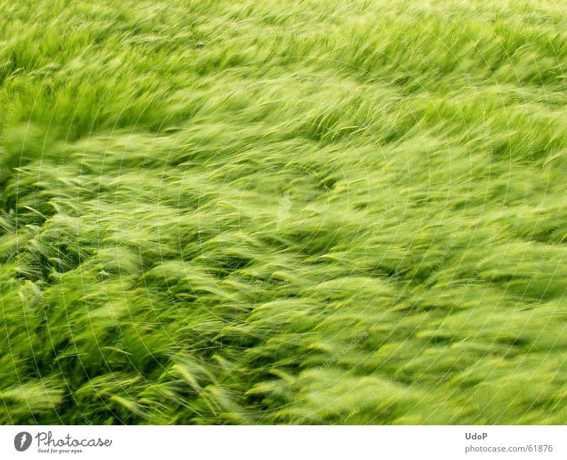 Green Waves Wind Growth Soft Grain May Barley Maturing time
