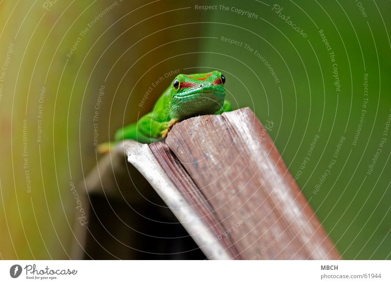 vantage point Gecko Green Red Pattern Snout Near Brown Nostril Animal Leaf Madagascar Nose Eyes streak Barn Muzzle
