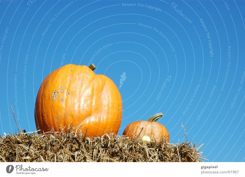 Sky Blue Nutrition Autumn 2 Orange In pairs Delicious Hallowe'en Straw Pumpkin Thanksgiving