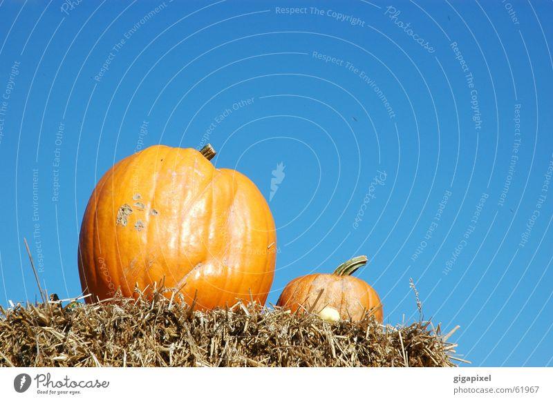 Sky Blue Nutrition Autumn 2 Orange In pairs Delicious Hallowe'en Straw Pumpkin Thanksgiving