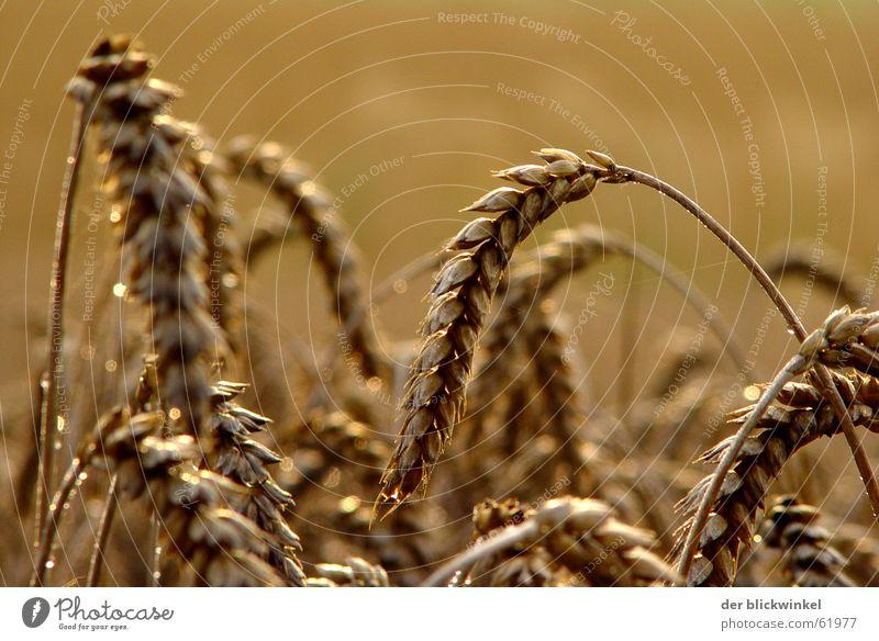 Grain Ear of corn