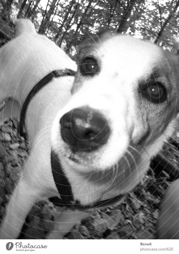 Dog Joy Animal Playing Nose Breathe Mammal Tongue Snout Terrier