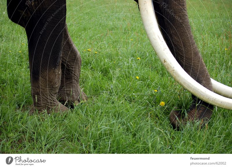 pachyderms Elephant Meadow Grass Animal Circus Tusk Trunk Safari Africa To feed cirques Set of teeth Legs Nutrition tusker tusks proboscis