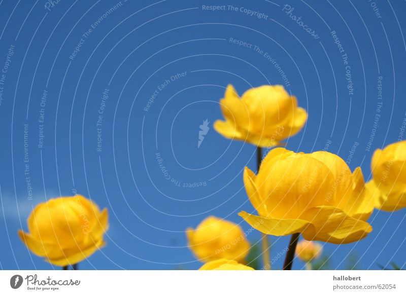 Flowers in the beautiful Vogtland 02 Meadow Blossom Globeflower Spring Blue sky yellow flower