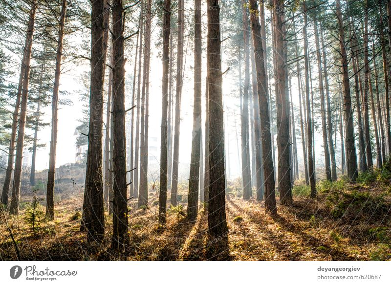 Sunlight through the trees in the morning Beautiful Summer Environment Nature Landscape Plant Autumn Fog Tree Leaf Park Forest Dream Bright Natural Green