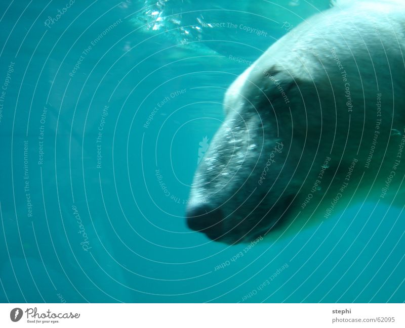 dive one ice bear Zoo water animal polar bear blue diving Freedom Underwater photo