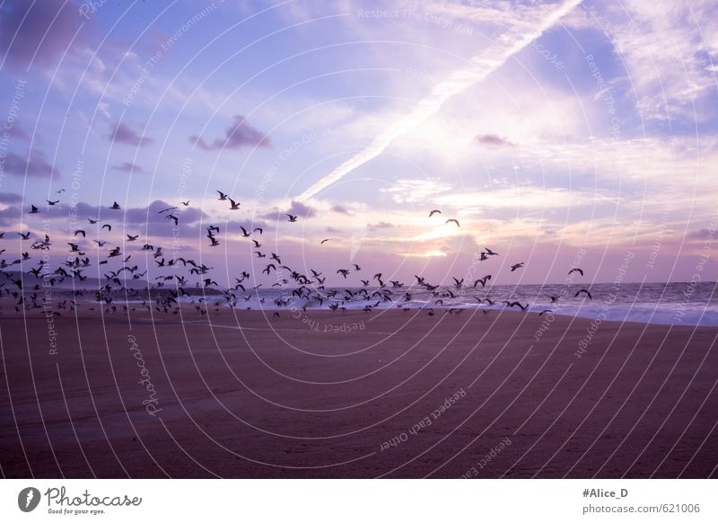 "seagull flight Bird Wing Flock Blue Brown Violet Orange Moody Warm-heartedness Romance ""Seagull flight purple Beach Landscape"" Colour photo Exterior shot"
