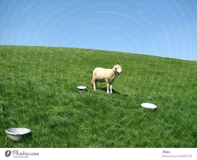Nature Sky Green Blue Meadow Grass Pasture Sheep Bowl