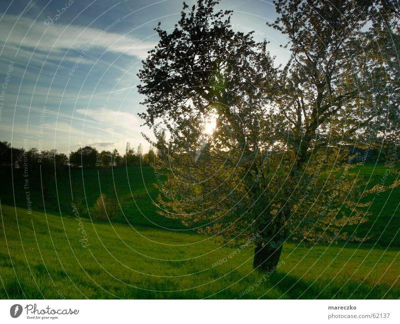 Landscape tree Tree Meadow Light Green Sunlight Romance Think Sky Blue grass ponder