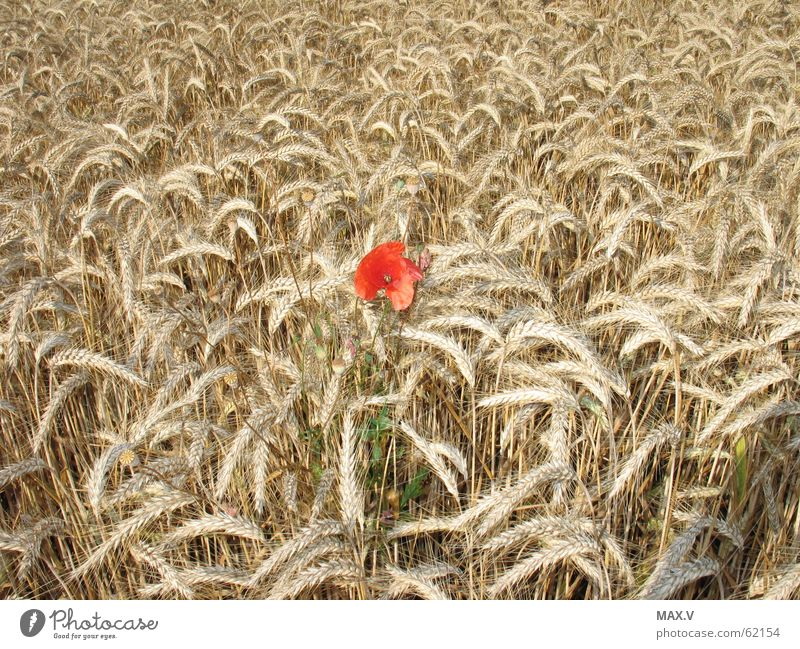 Other Poppy Field Summer Growth Blossom Red Brown Grain Ear of corn Blossom leave Plant Blossoming