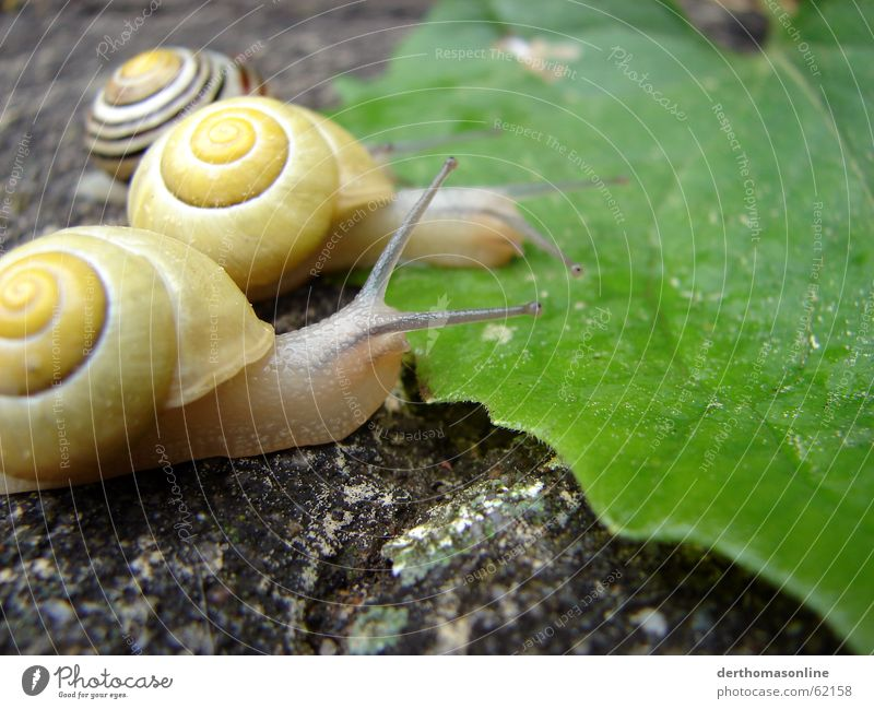 lick Snail House (Residential Structure) Leaf Foliage plant Green Goggle eyed Success Loser Vessel Thin Fragile Trail of mucus Slowly Nutrition Delicious Fresh